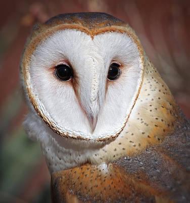 Barn Owl Poster by Elaine Malott