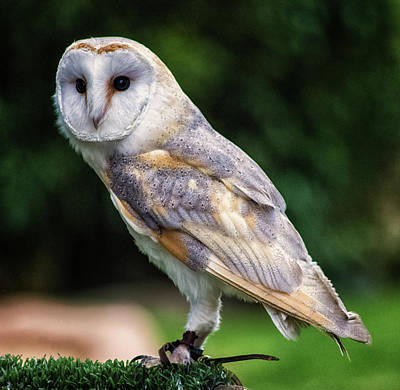 Barn Owl Poster by Martin Newman