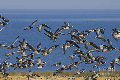 Barnacle Geese, Denmark Poster by Steen Drozd Lund