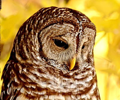 Barred Owl Poster by Amy McDaniel