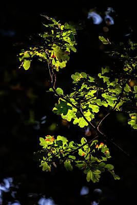 Beautiful Acorn Oak Tree In Forest Landscape With Dappled Sunlig Poster by Matthew Gibson