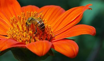 Poster featuring the photograph Bee-utiful by Debbie Karnes