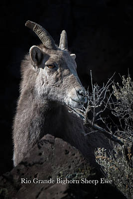 Poster featuring the photograph Bighorn Ewe by Britt Runyon