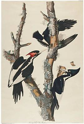 Billed Woodpecker Poster by MotionAge Designs