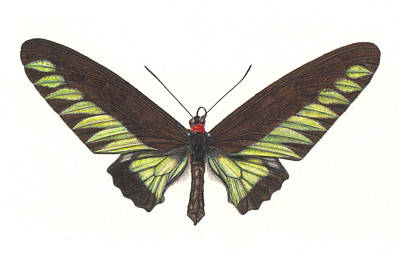 Birdwing Butterfly Poster