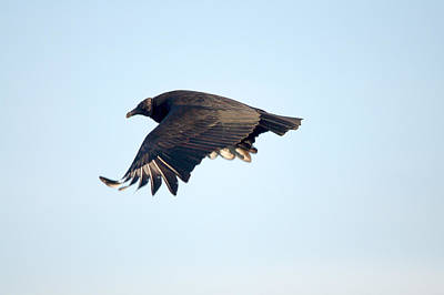 Black Vulture In Flight Poster by Roy Williams