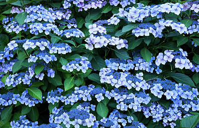 Poster featuring the photograph Miksang 12 Blue Hydrangea by Theresa Tahara
