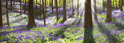 Bluebell Spring Wildflowers Poster by Dirk Ercken
