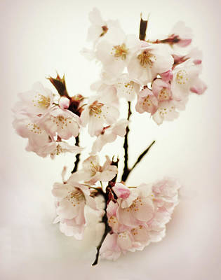 Poster featuring the photograph Blushing Blossom by Jessica Jenney