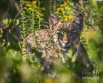 Bobcat Lynx In Hiding  Poster by Anne Kitzman