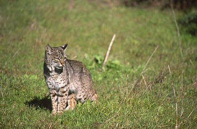 Bobcat - Wildcat Beach Poster by Soli Deo Gloria Wilderness And Wildlife Photography
