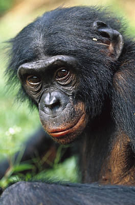 Bonobo Pan Paniscus Portrait Poster by Cyril Ruoso