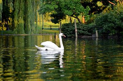 Boston Public Garden Swan Green Reflection Poster by Toby McGuire