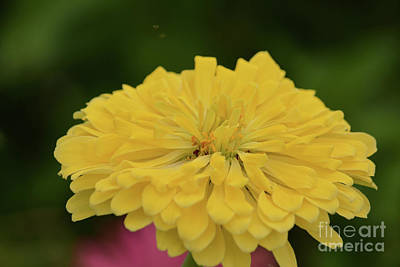 Bright Yellow Zinnia Poster by Ruth Housley