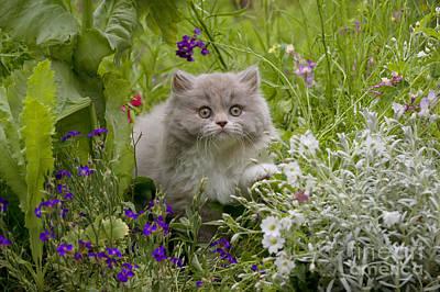 British Longhair Cat Poster by John Daniels