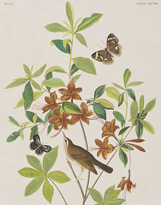 Brown Headed Worm Eating Warbler Poster by John James Audubon