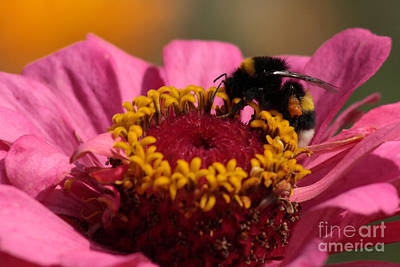 Buff-tailed Bumblebee On Zinnia Elegans Poster