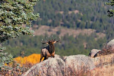 Bull Elk  Poster by Gary Langley
