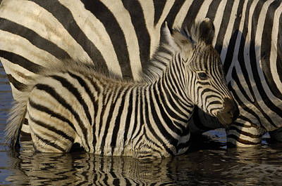 Poster featuring the photograph Burchells Zebra Equus Burchellii Foal by Pete Oxford