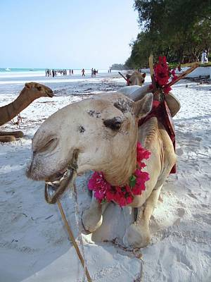 Camel On Beach Kenya Wedding3 Poster by Exploramum Exploramum