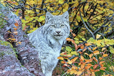 Canada Lynx Poster by Jack Bell