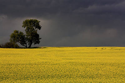 Canola Storm Poster