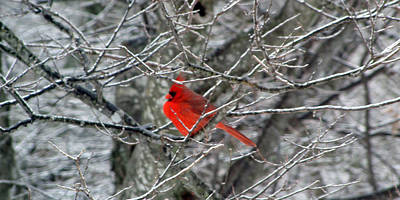 Cardinal On Icy Branches Poster