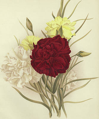 Carnations Poster by English School