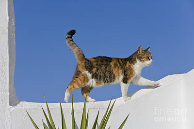 Cat On A Wall, Greece Poster