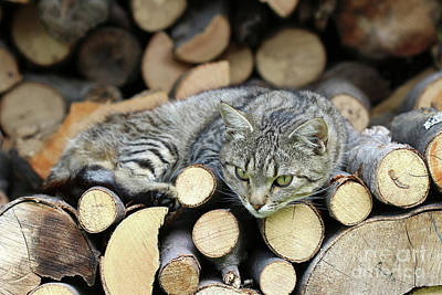 Poster featuring the photograph Cat Resting On A Heap Of Logs by Michal Boubin