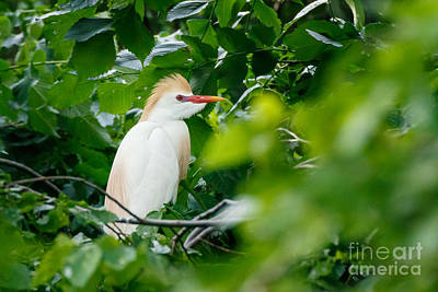 Cattle Egret At Rest Poster