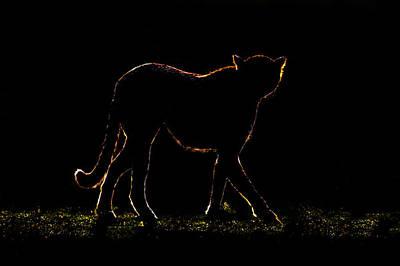 Cheetah Acinonyx Jubatus Walking Poster by Panoramic Images