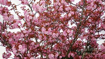 Poster featuring the photograph Cherry Blossoms  by Victor K