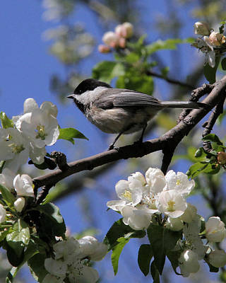 Chickadee Among The Blossoms Poster