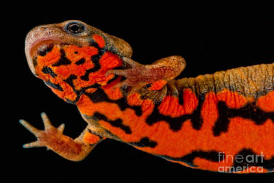 Chuxiong Fire Belly Newt Poster by Dant� Fenolio