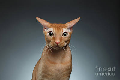 Closeup Funny Ginger Sphynx Cat Surprised Looking In Camera On Background Poster by Sergey Taran