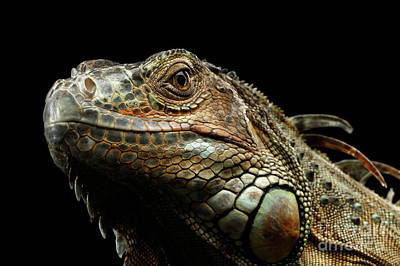 Closeup Green Iguana Isolated On Black Background Poster by Sergey Taran