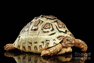 Closeup Leopard Tortoise Albino,stigmochelys Pardalis Turtle With White Shell On Isolated Black Back Poster