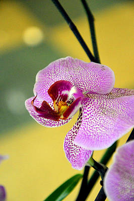 Closeup Of A Phalaenopsis Blossom. Poster by Andy Za