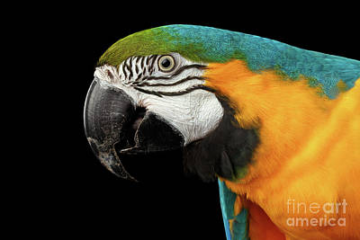 Closeup Portrait Of A Blue And Yellow Macaw Parrot Face Isolated On Black Background Poster by Sergey Taran
