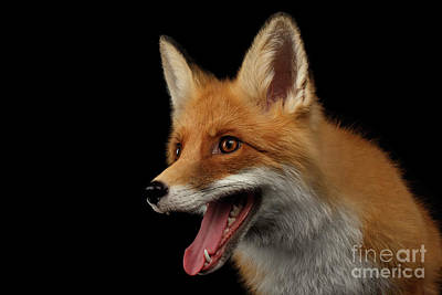 Closeup Portrait Of Smiled Red Fox Isolated On Black  Poster