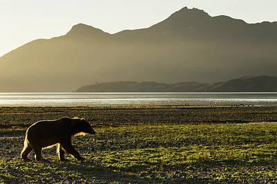 Coastal Brown Bear  Ursus Arctos Poster