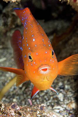 Colorful Garibaldi Fish Poster