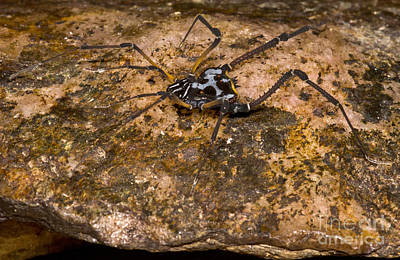 Colorful Harvestman Poster by Dant� Fenolio