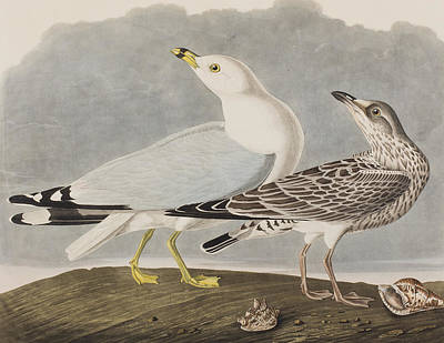 Common Gull Poster by John James Audubon