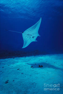 Common Manta Ray Poster by Ed Robinson - Printscapes