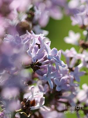 Common Purple Lilac Poster by J McCombie