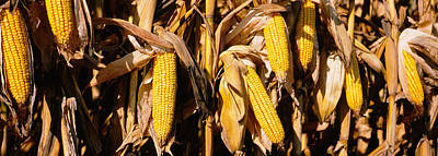 Corn Crop In A Field, Minnesota, Usa Poster by Panoramic Images