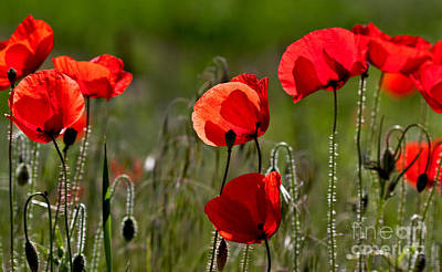 Corn Poppy Flowers Poster