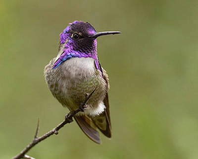 Costa's Hummingbird, Solano County California Poster